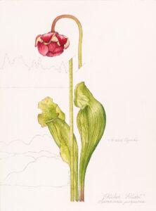 Linda Fairfield Stechesen. Sarracenia purpurea (Pitcher Plant), 1979. graphite, watercolour on paper, 30.5 x 22.9 cm. Collection of the Winnipeg Art Gallery. Gift of the Stechesen Family, 2017-711 Photo: Svjetlana Mlinarevic.